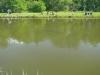 Forellenschwarm im Moorlinz Weiher in Lauterbourg