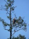 Seeadler rastet im Peenegebiet