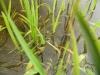 Frosch im Schilf