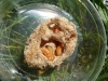 Bienenmaden als Forellenköder