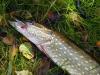 Hecht auf Köderfisch